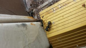 carpenter ants image