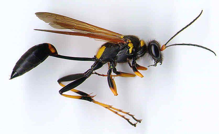 Stinging Insects Bees Yellow Jacket Hornets Wasps Nest