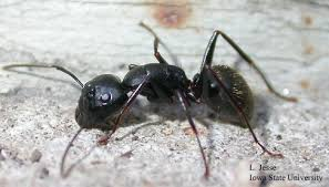 Pest control for carpenter ants