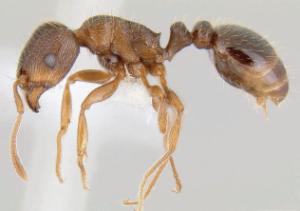 pavement ants exterminators