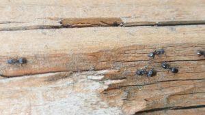 Ampm Exterminators Seattle Ants Control Removal Spraying Kill Service
